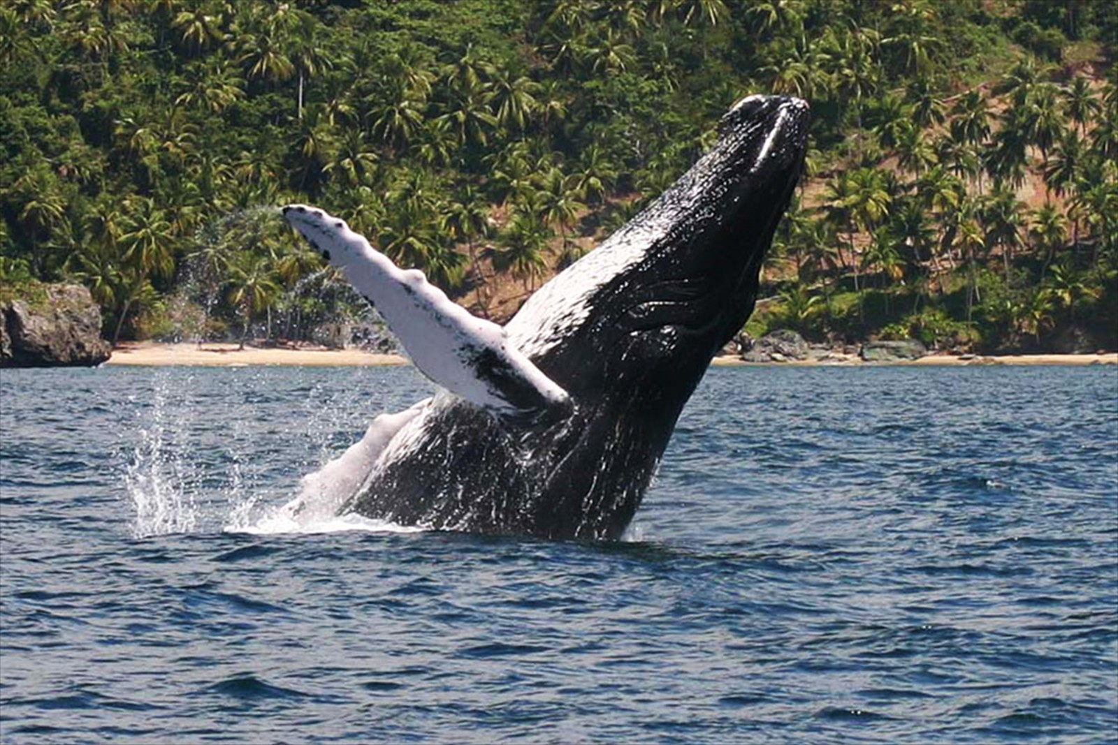 Whale Watching Tour in Samana Bay from Las Terrenas, Samana.